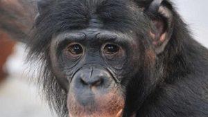 ボノボは人間に最も近い動物!コンゴに生息、日本の動物園にいる?志村動物園